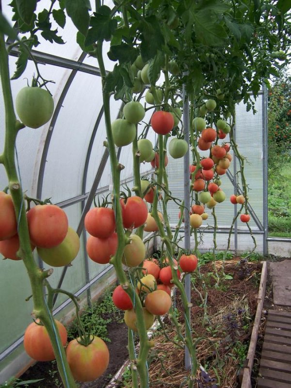 Пинк уникум томат выращивание 51