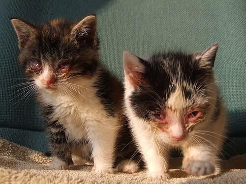 Микоплазмоз у кошек возбудители и пути передачи