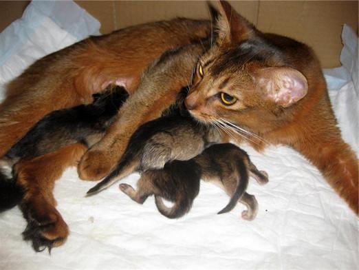 Как рожают кошки в домашних условиях
