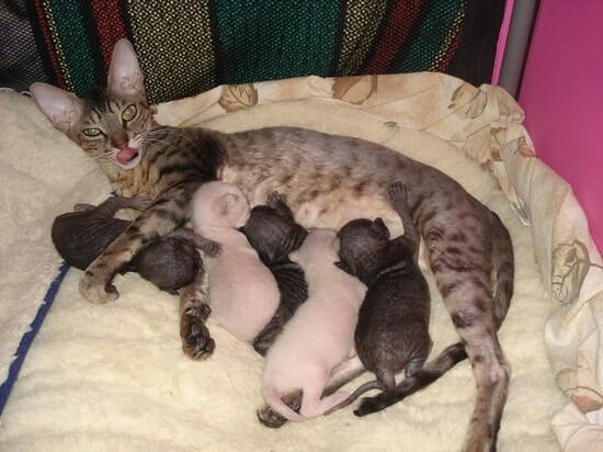 Как в домашних условиях помочь разродиться кошки 194