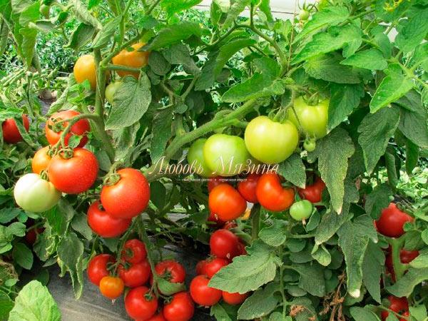 урожай помидоров суперприз