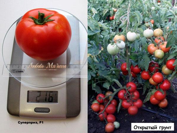 томат суперприз на весах