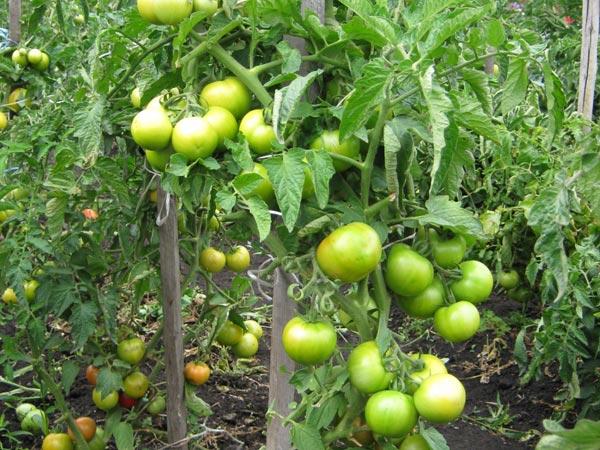 зеленые томаты суперприз