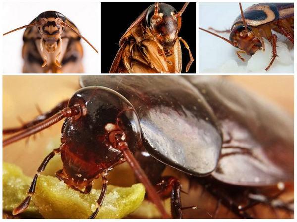tara2 - Кусаются ли тараканы, Укус таракана на человеке, фото, как выглядит