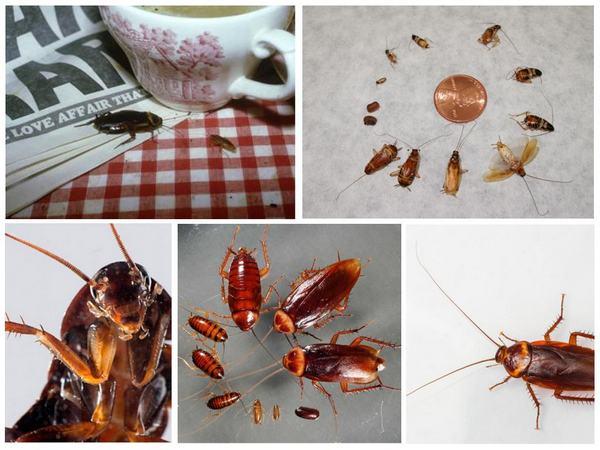 tara22 - Кусаются ли тараканы, Укус таракана на человеке, фото, как выглядит