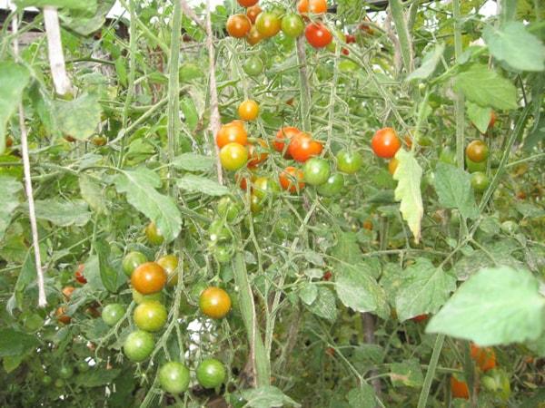 Плоды сорта томата Красная гроздь