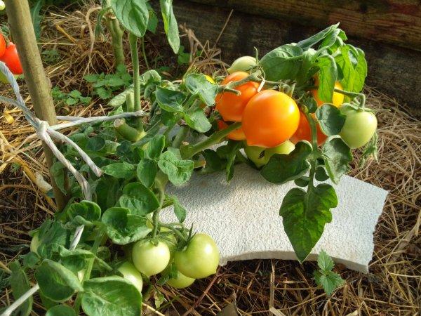 Плоды томата Утенок