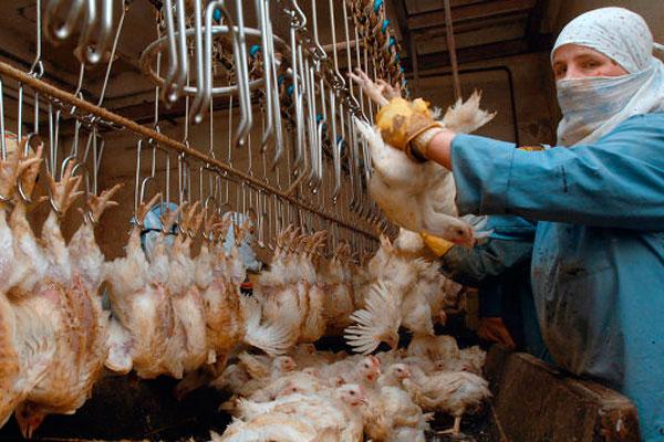 Навешивание птицы на конвейер вниз головой цепи для скребковых конвейеров