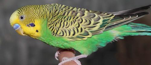 зеленый волнистый попугай фото