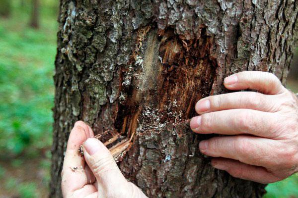 Картинки по запросу фото короеда на дереве