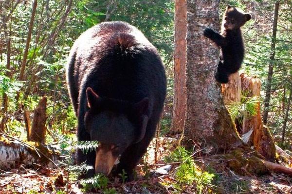 медведь и муравейник